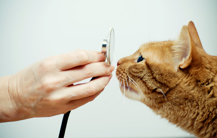Hand holding a stethoscope in front of a cat