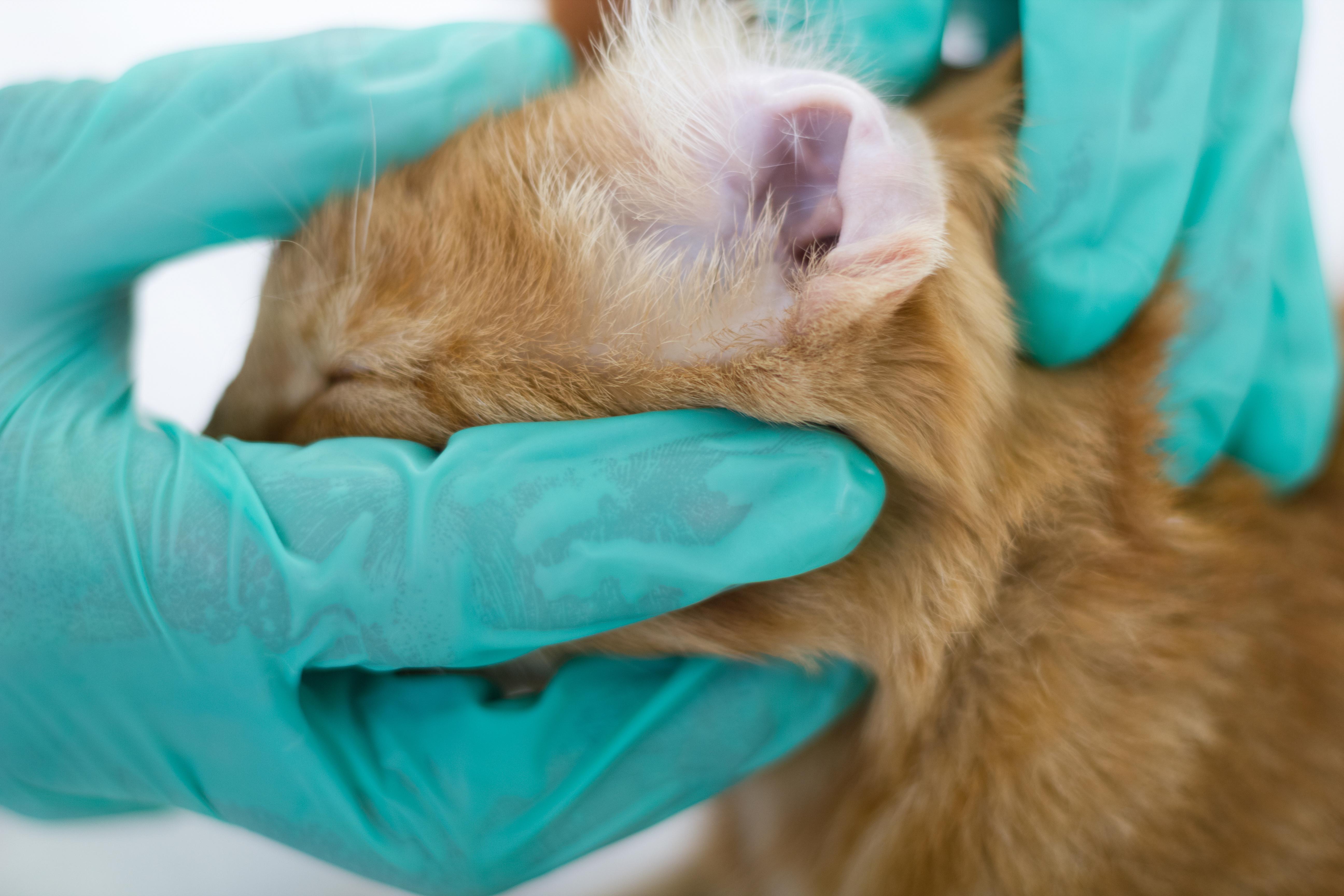 Клещ у кошки: симптомы и лечение. Как вытащить клеща у кошки 34