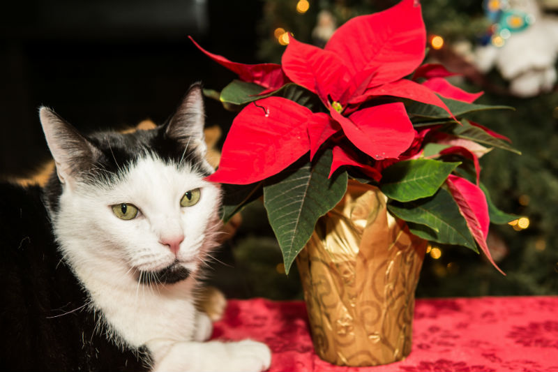 Cat and Poinsettia