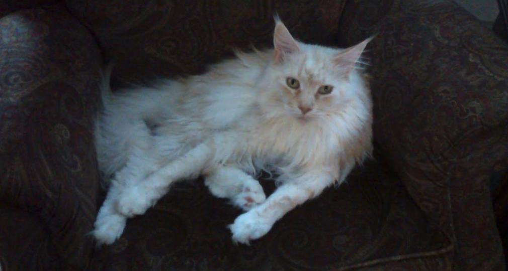 Beige Maine Coon cat