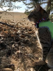 Side view of a cat wearing a harness