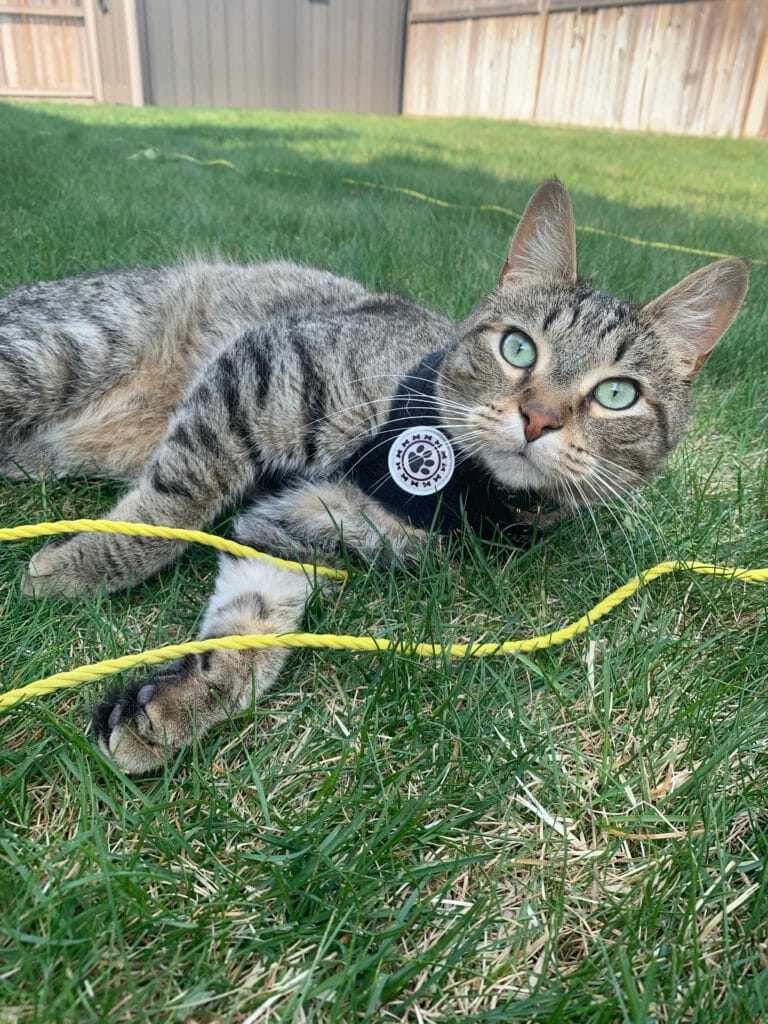 Cat wearing a harness and lying on grass