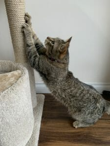 Cat scratching a roped post