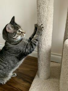 Cat scratching a carpet post