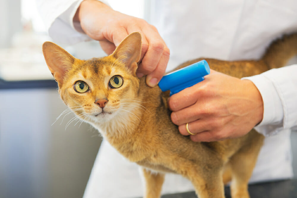 Veterinarian injecting a microchip in an orange cat